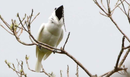 Listen to the Shattering Call of the World's Loudest Known Bird