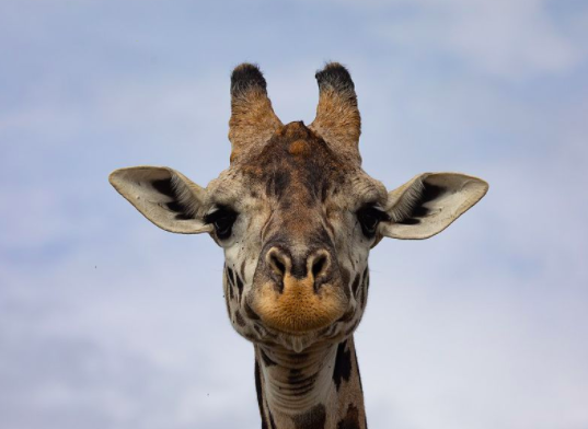 Color of Giraffes' Spots Reflects Social Status, Not Age