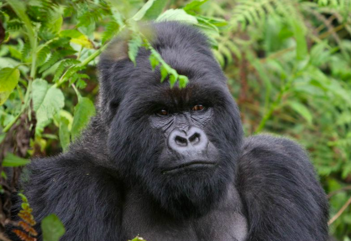 Gorillas Beat Their Chests to Communicate With Each Other